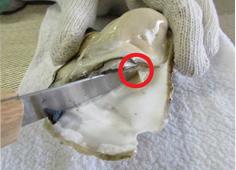 【5】下殻同様に上殻も貝柱を切り、むき身を取り出します。